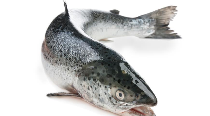 Разведение лосося. Часть II