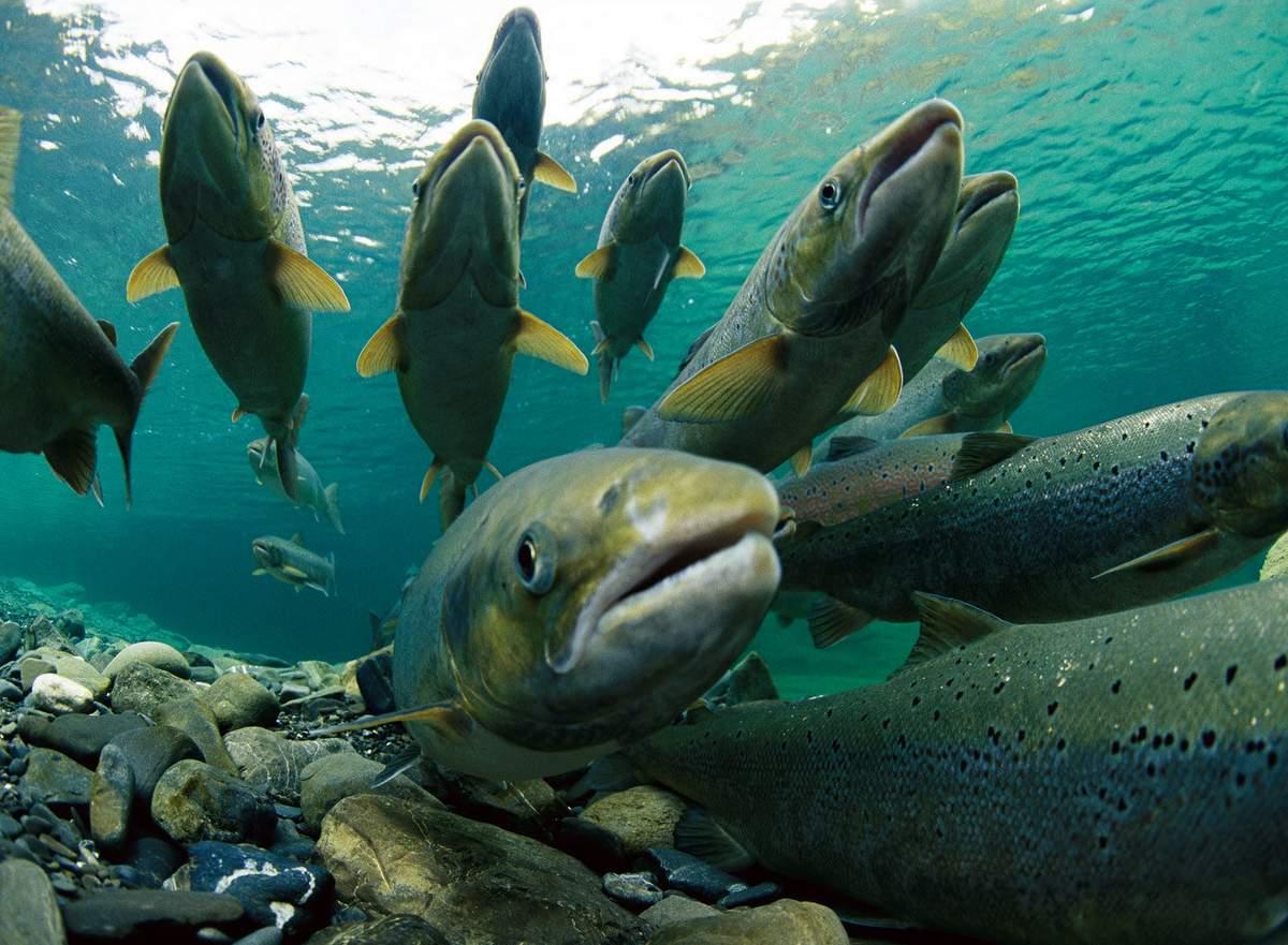 Разведение лосося. Часть I