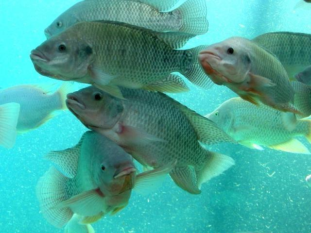 Тилапия в промышленном рыбоводстве