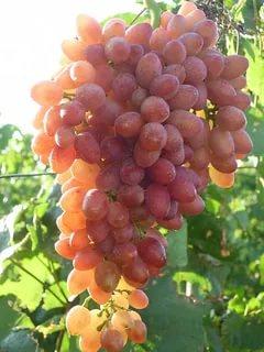 Кишмиш лучистый и гроздья более 3 кг. В ДНР прошел конкурс виноградарей