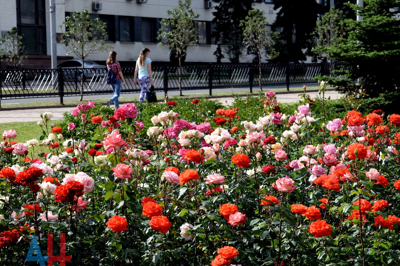 В Донецке в этом году распустится более 1 млн роз - горадминистрация